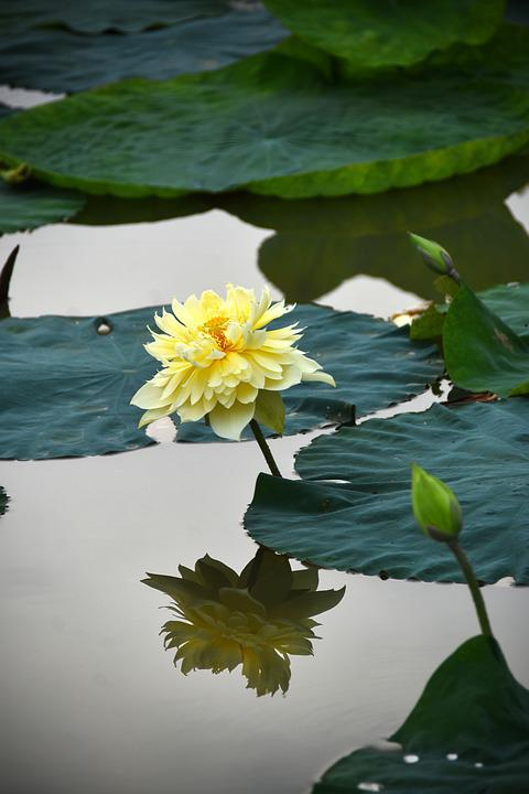 Lotus Flowers, Blooming, Water, Ao, Flower, Lotus