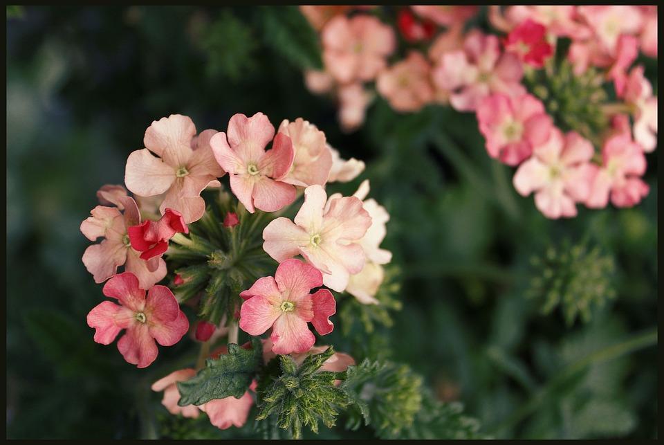 Geranium, Geraniums, Basket Flowers, Garden, Blooming