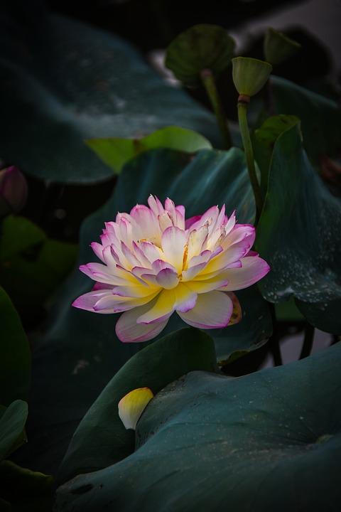 Golden Lotus Border Pink, Outdoor, Blooming, Dress
