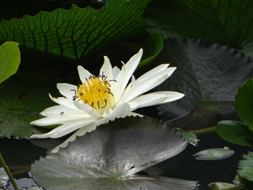 Lotus, Flower, Pond, Plant, Bloom, Flora, Blooming