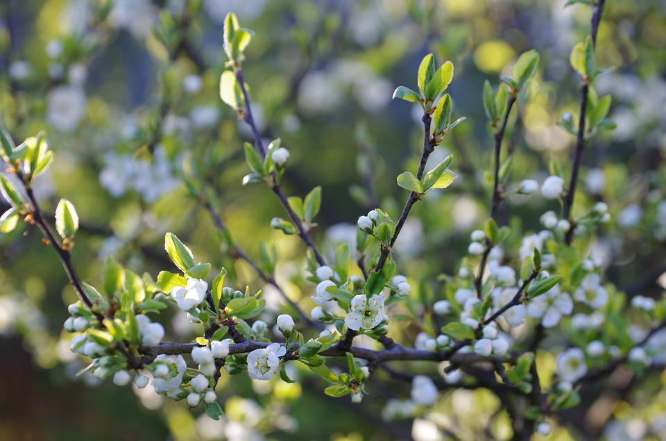 Plum, Spring, Blooming, Branch, Garden