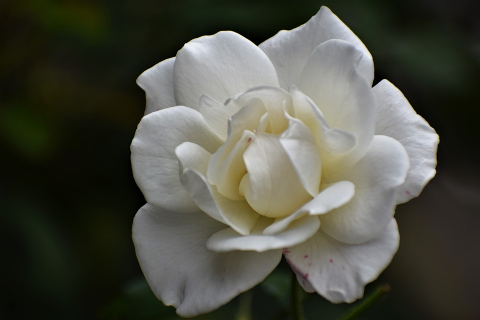 White Rose, Purity Symbol, Blooming, Plant, Romantic