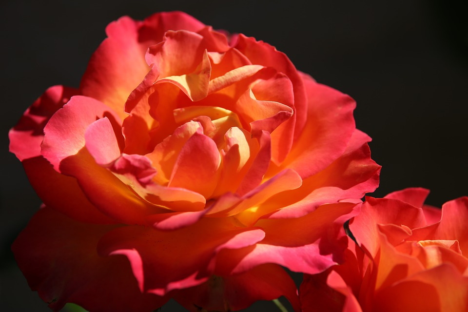Red Yellow Rose Alinka, Flower, Petals, Blooming