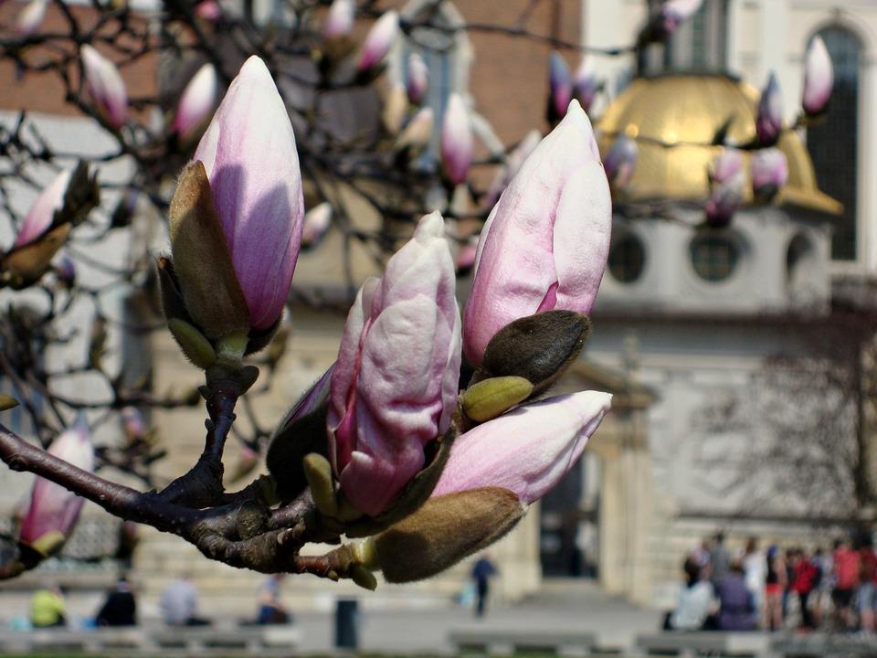 Flower, Magnolia, Spring, Blooming, Pink