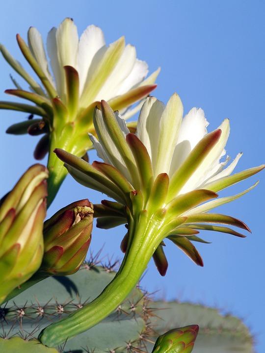 Prikley Pear, Pear Flower, Wildflower, Spring, Blooming