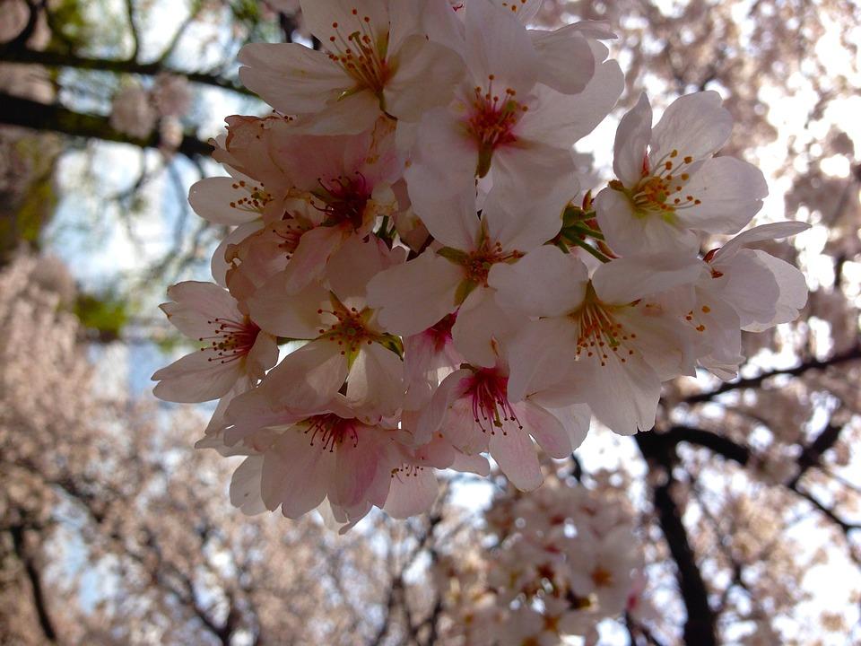 Sakura, Tokyo, Spring, Japan, Blooming
