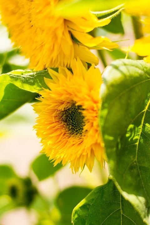 Sunflower, Flower, Blooming Sunflower, Yellow, Summer