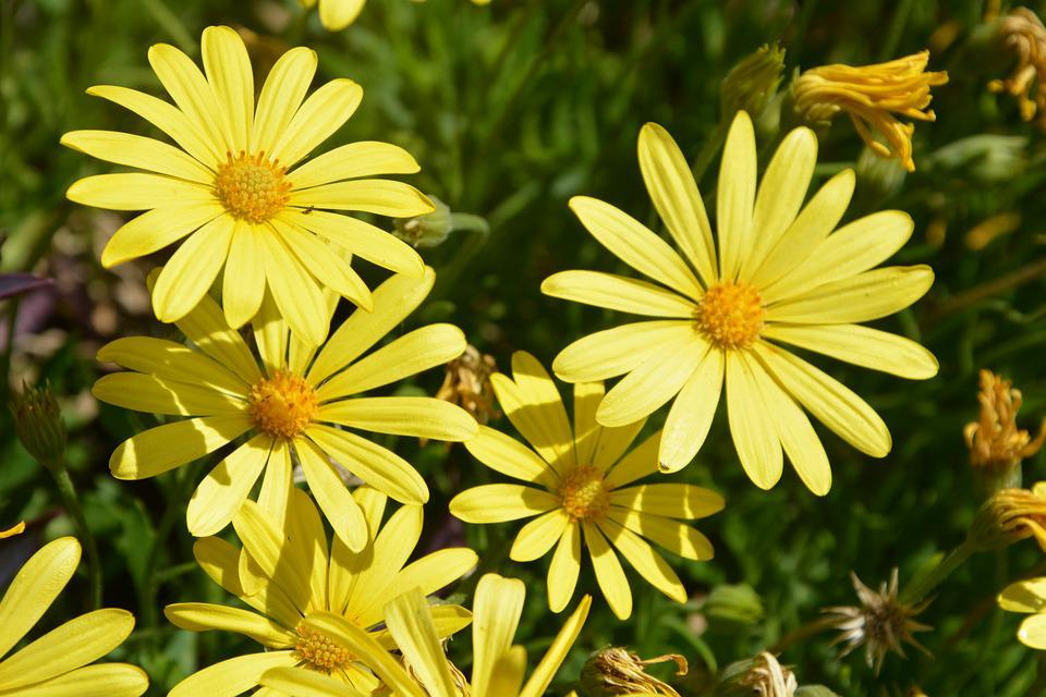 Yellow Daisies, Sunshine, Blooming