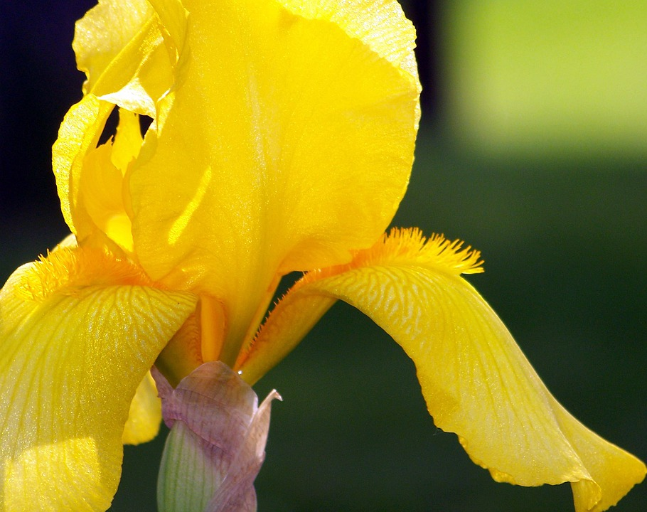 Yellow, Iris, Flower, Petals, Blooming, Blooms, Blossom