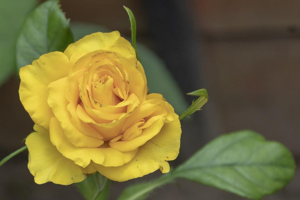 Rose, Tea Rose, Flower, Yellow, Petals, Blooms At