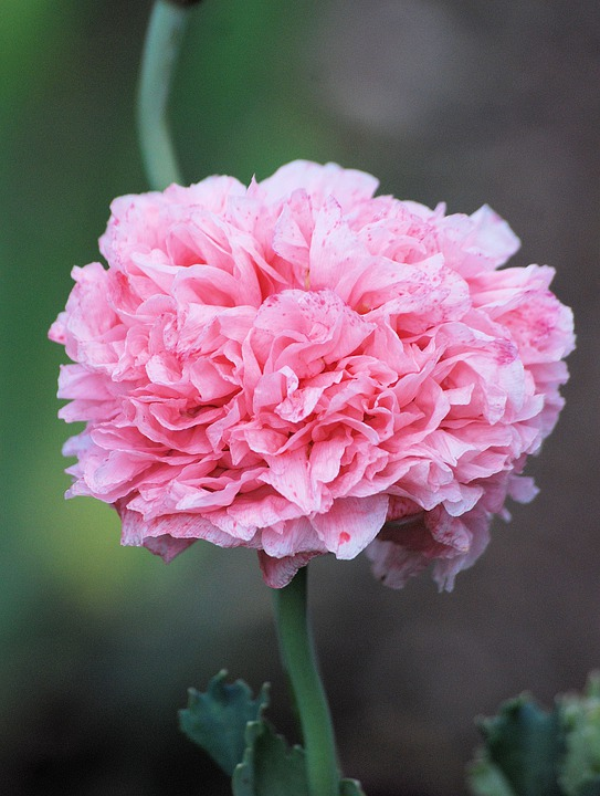 Poppy, Flower, Blooms Cultivated, Plant, Pink