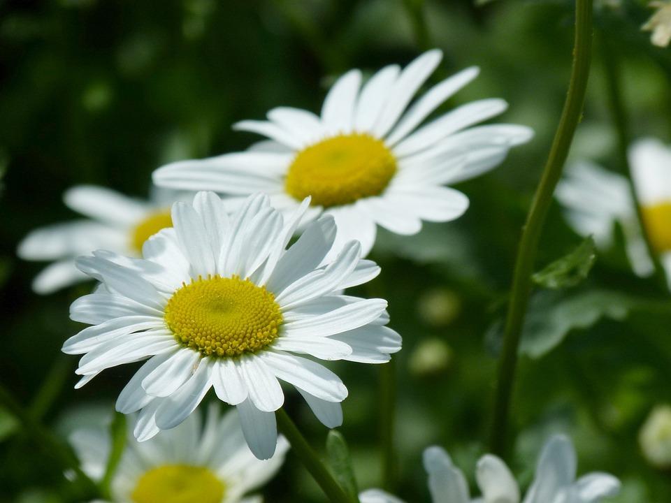 Daisy's, Petals, Blooms, Daisy, Flower, Nature, Summer