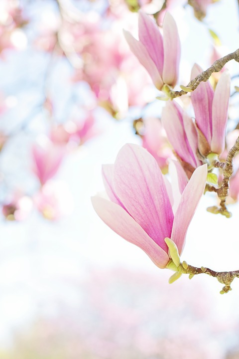 Magnolia, Blossoms, Blooms, Spring, Flowers, Nature