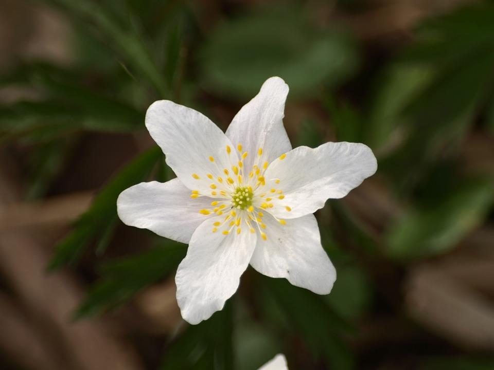 Wood Anemone, Flower, Anemone, White, Blossom, Bloom