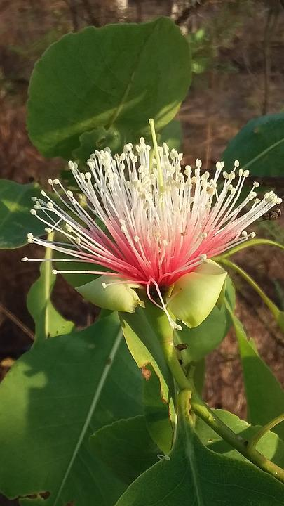 Cocky, Apple, Tree, Blossom, Australia