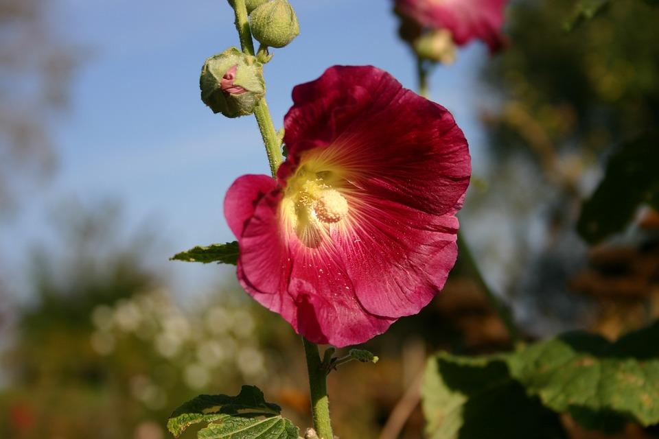Mallow, Blossom, Bloom, Autumn, Garden Plant