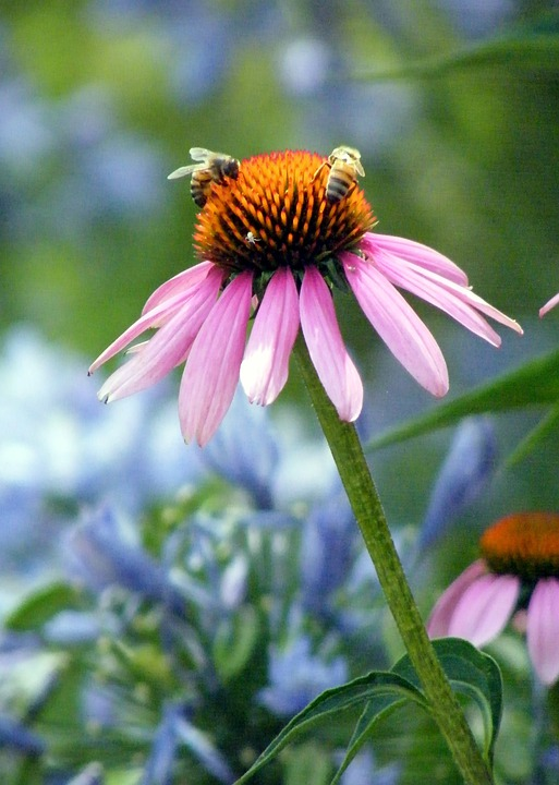 Rudbeckia, Daisy, Bee, Floral, Plant, Natural, Blossom