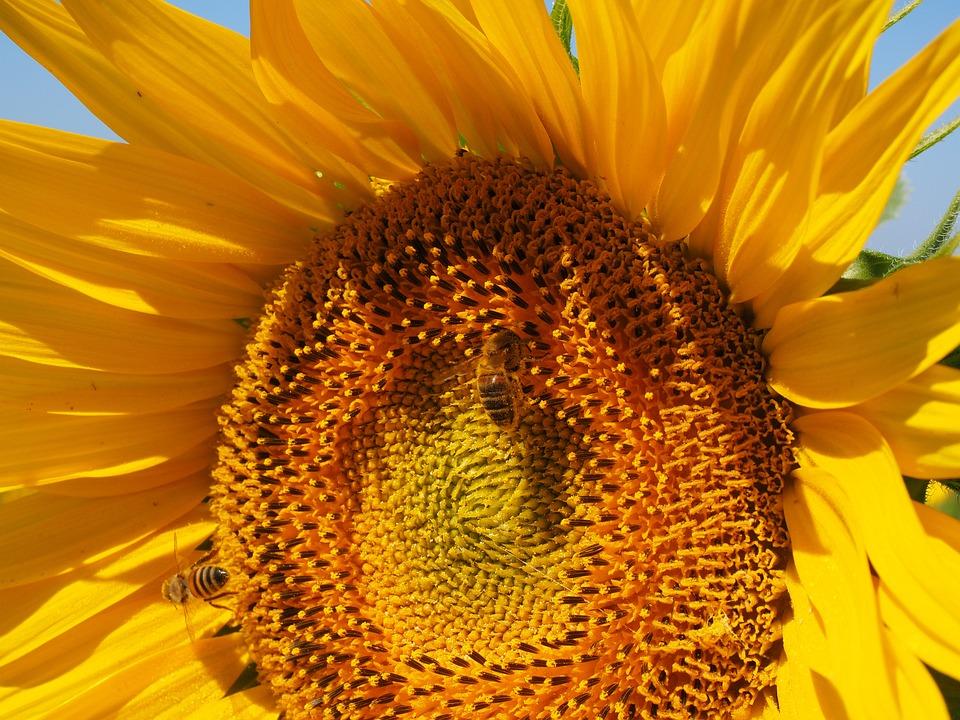 Sun Flower, Bee, Blossom, Bloom, Nectar, Inflorescence