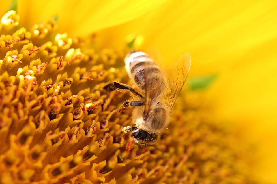 Sunflower, Bee, Close Up, Yellow, Nature, Blossom