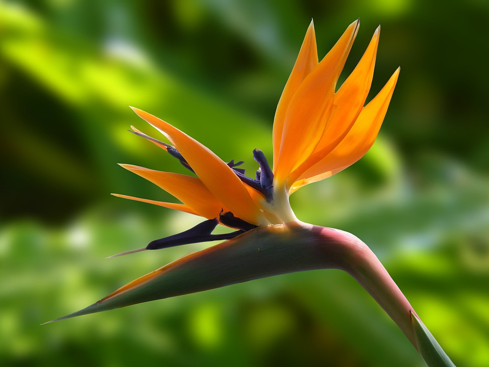 Blossom, Bloom, Strelitzia, Flowers, Bird Flower