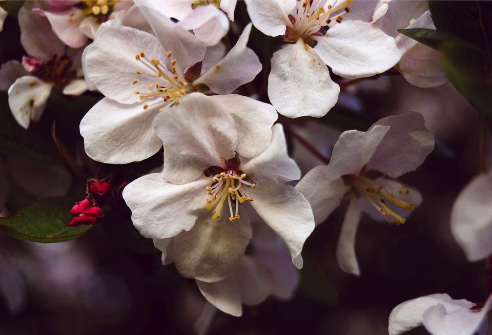White Flower, Apple Blossom, Bloom, Blossom, Spring