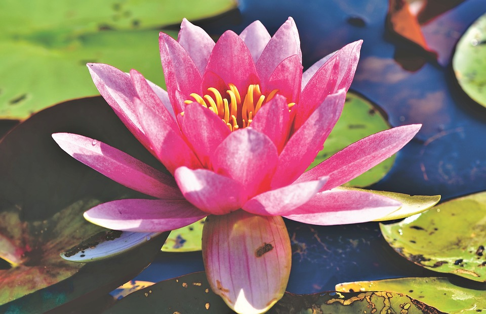 Water Lily, Aquatic Plant, Blossom, Bloom, Nuphar Lutea