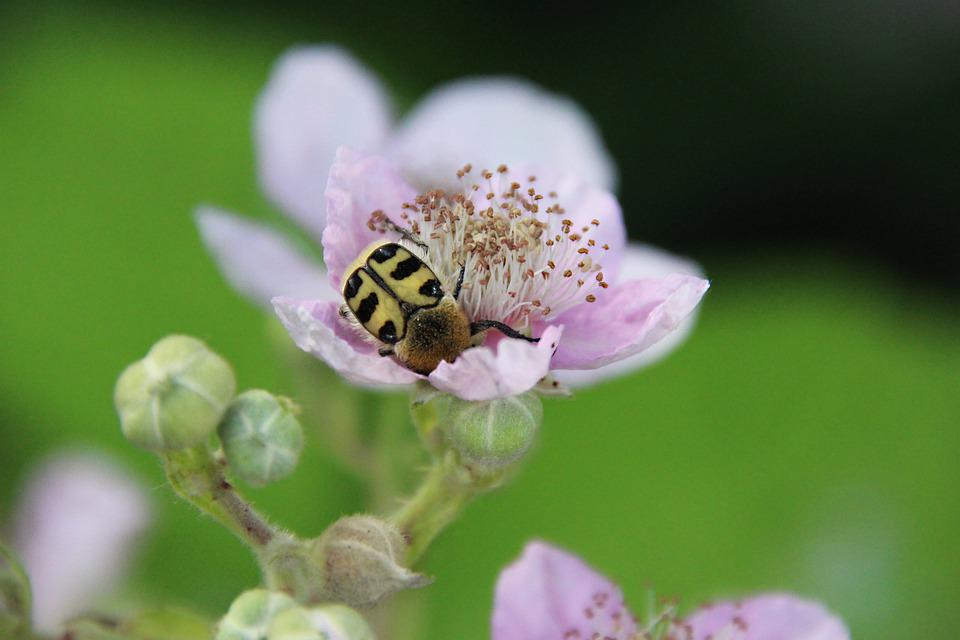 Beetle, Blossom, Bloom, Insect, Flower, Macro, Plant