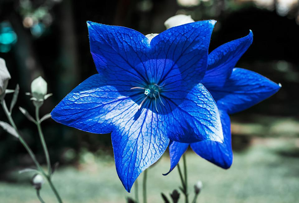 Bellflower, Flower, Blossomed, Blossom, Bloom, Blue