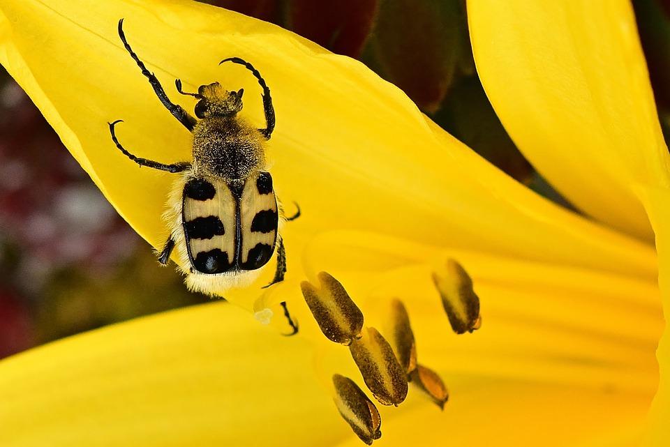 Beetle, Blossom, Bloom, Banded Brush Beetle, Bloom