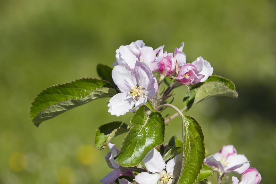 Blossom, Bloom, Apple, Spring, Apple Tree, Blossom