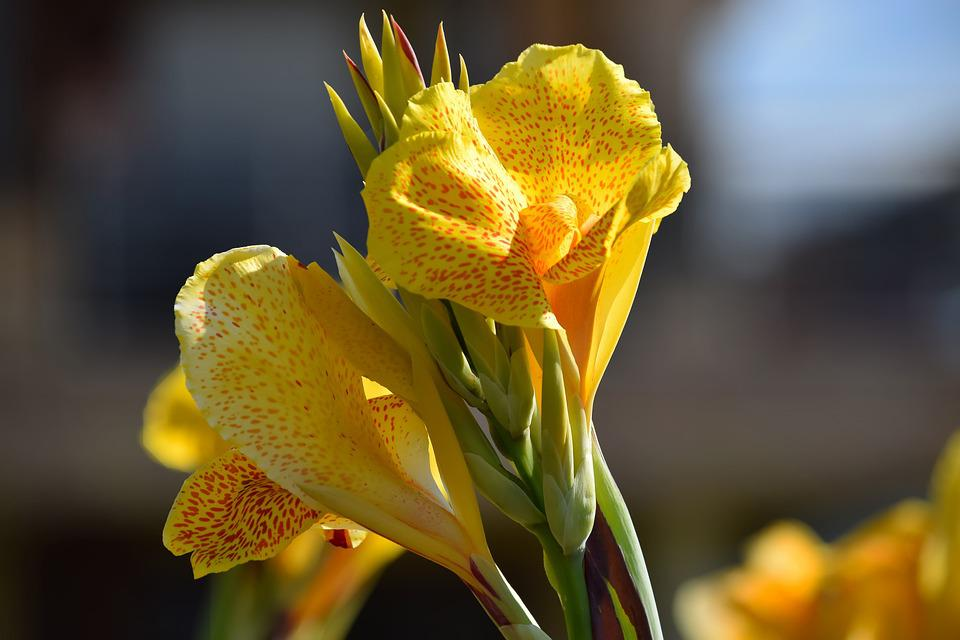 Canna, Blossom, Bloom, Bright, Nature, Color, Beautiful