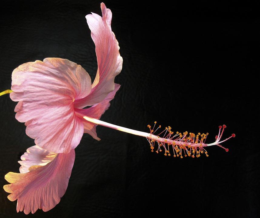 Flower, Blossom, Bloom, Close, Pink
