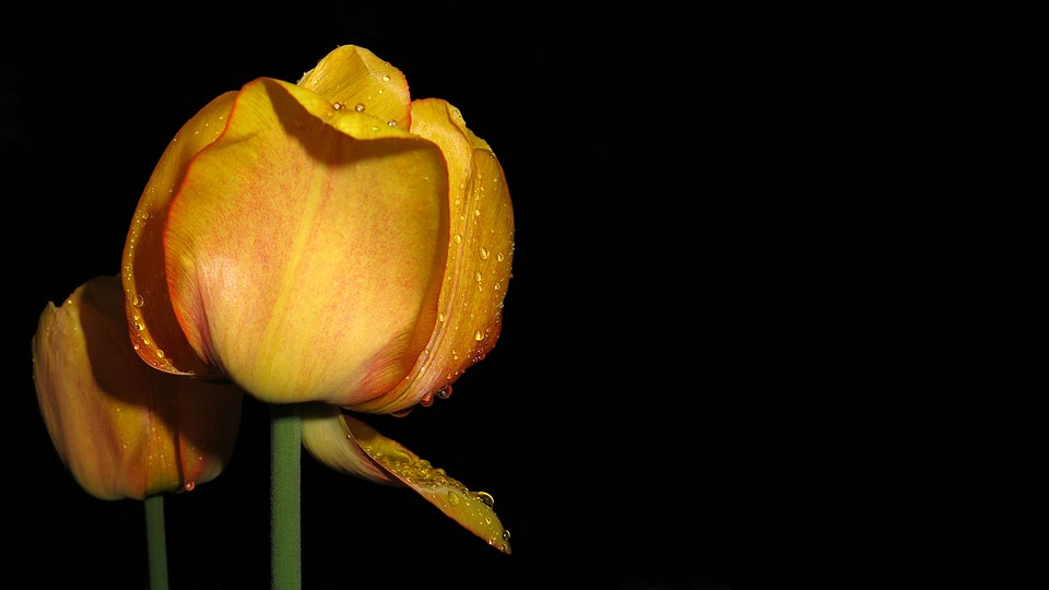 Tulip, Plant, Nature, Blossom, Bloom, Flower, Close