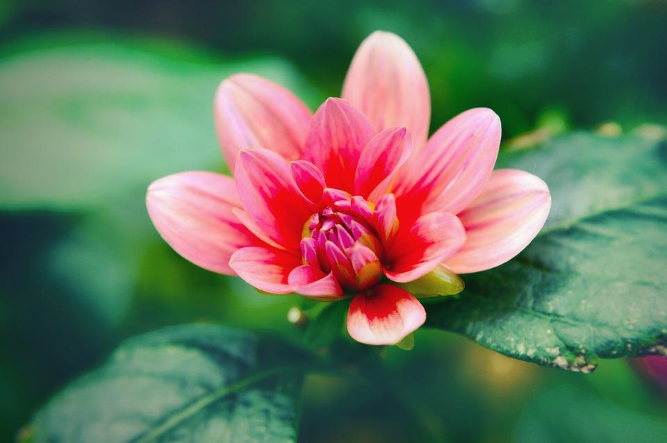 Bloom, Blossom, Close-up, Flora, Flower, Leaves, Nature