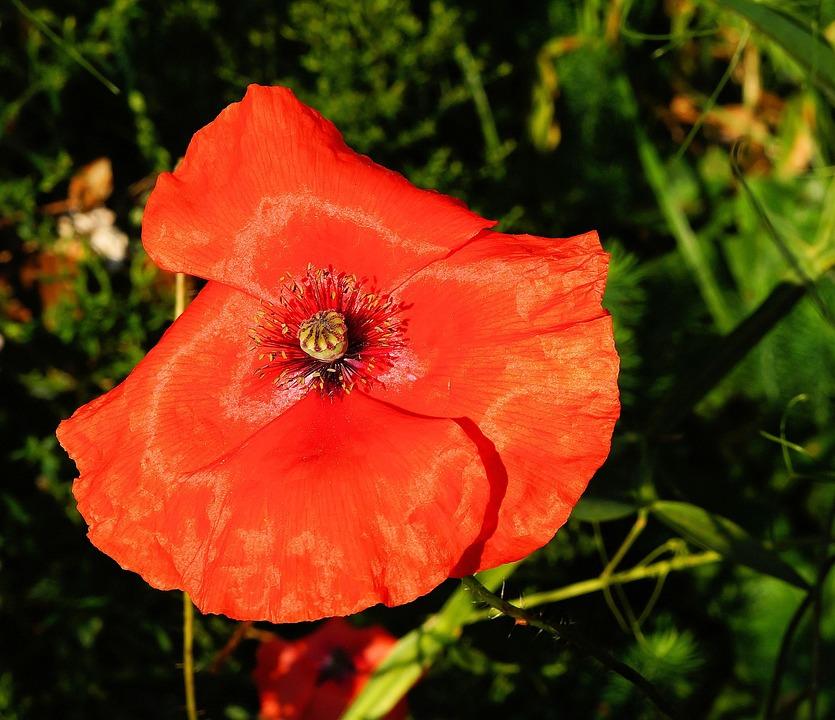 Poppy, Blossom, Bloom, Red, Colorful, Garden