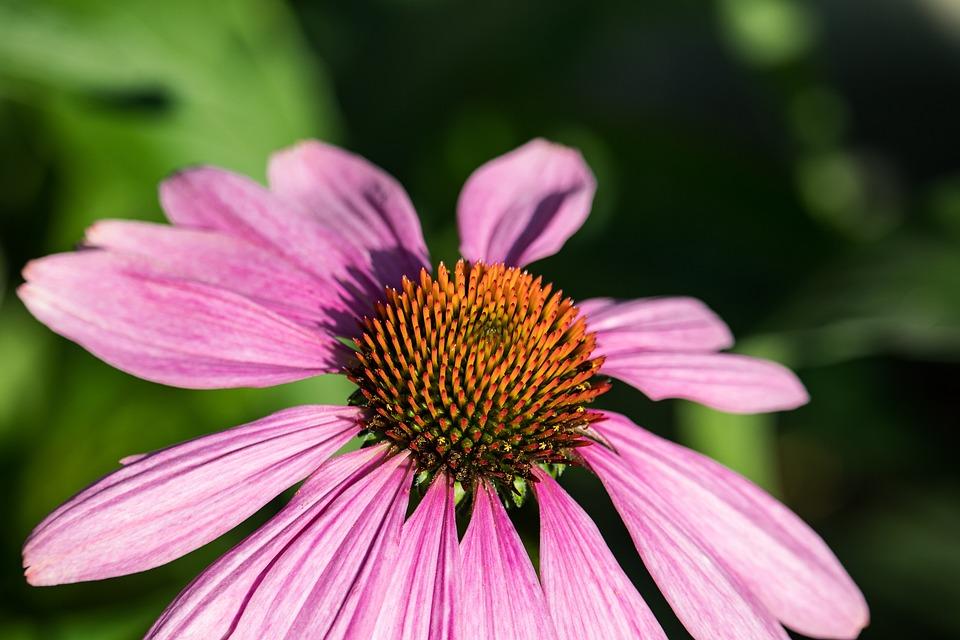 Coneflower, Blossom, Bloom, Plant, Flower