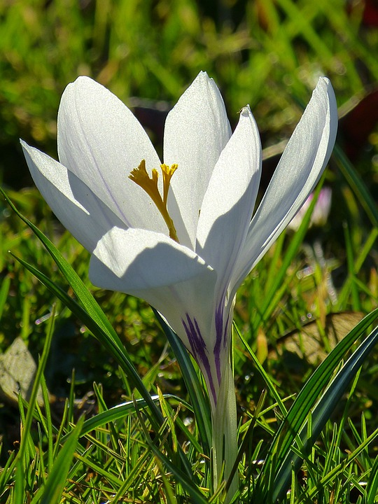 Crocus, Blossom, Bloom, Flower, Spring, White