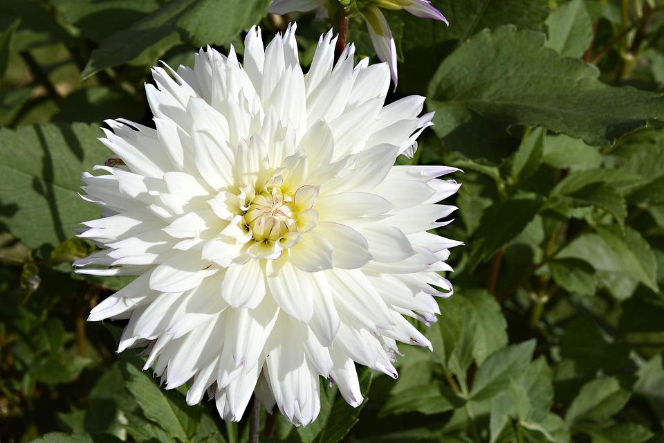 Dahlia, Flower, Blossom, Bloom, Dahlia Garden