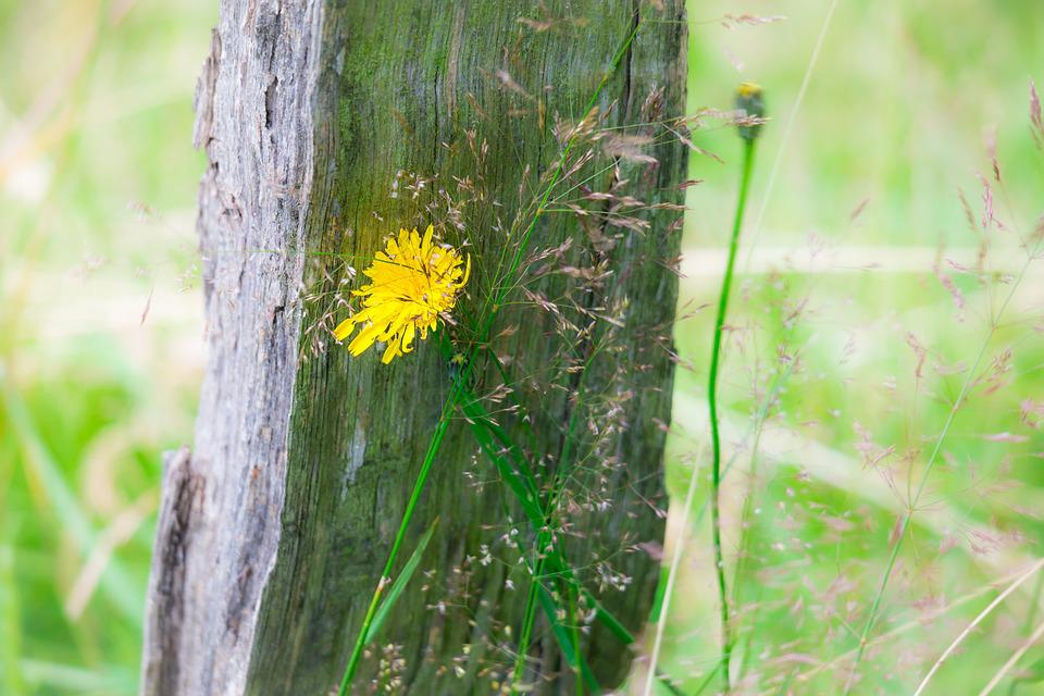 Dandelion, Fence, Pile, Fence Post, Blossom, Bloom