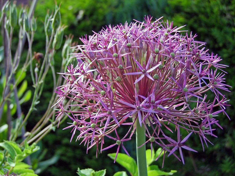 Ornamental Onion, Blossom, Bloom, Flower Ball, Plant