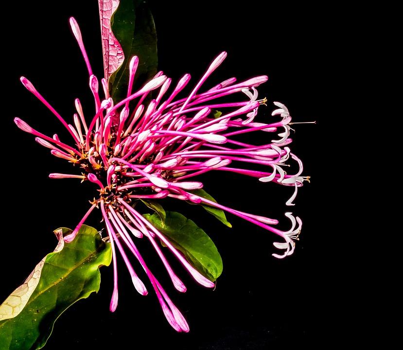 Blossom, Bloom, Flower, Lady Sansai