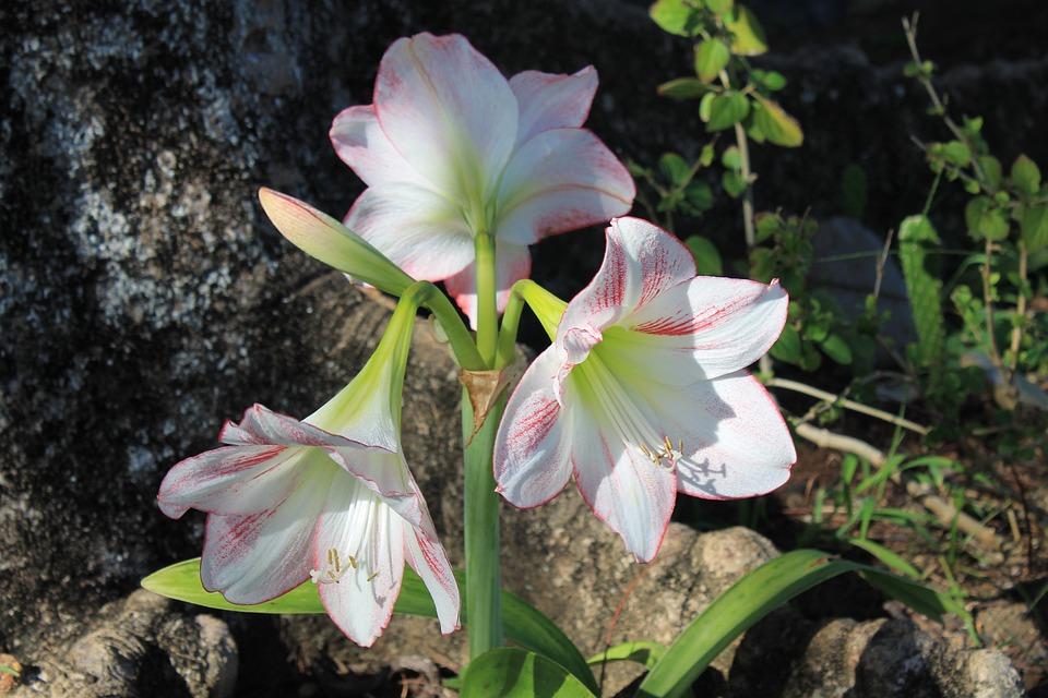 Flower, Plant, Blossom, Bloom, Amaryllis, Star, Wild
