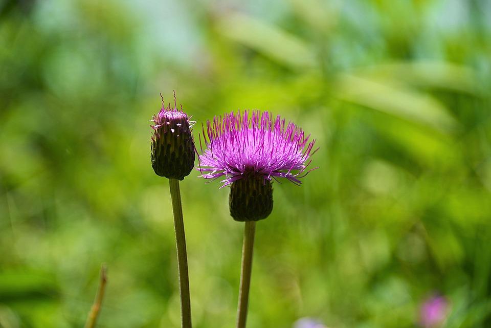 Thistle, Wegdistel, Blossom, Bloom, Flower