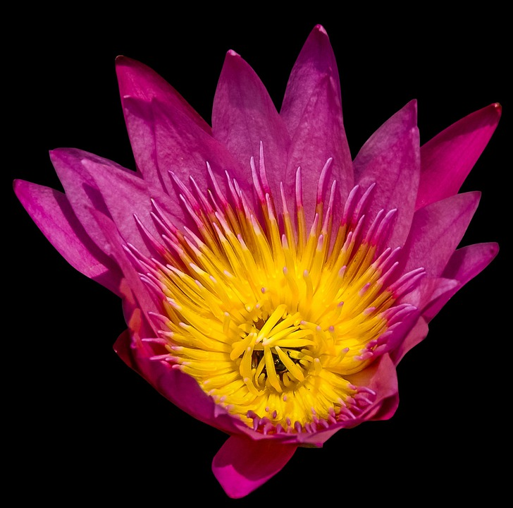 Water Lily, Flower, Blossom, Bloom, Purple Yellow