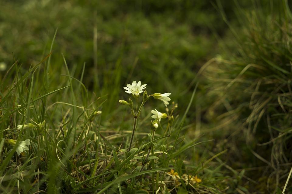 Grasses, White Blossom, Grass, Flower, Blossom, Bloom