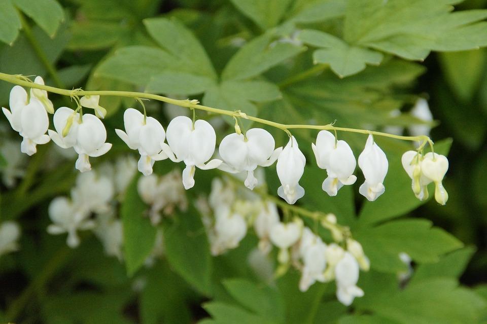 White, Flower, Blossom, Bloom, Watery Heart