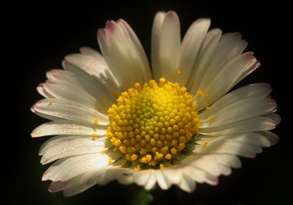 Daisy, Flower, Blossom, Bloom, Petals, Wild Flower