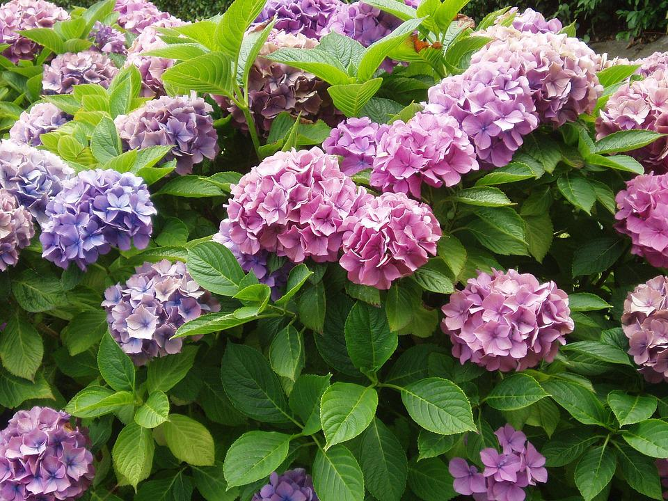 Hydrangea, Plant, Bush, Pink, Flower, Blossom, Bloom
