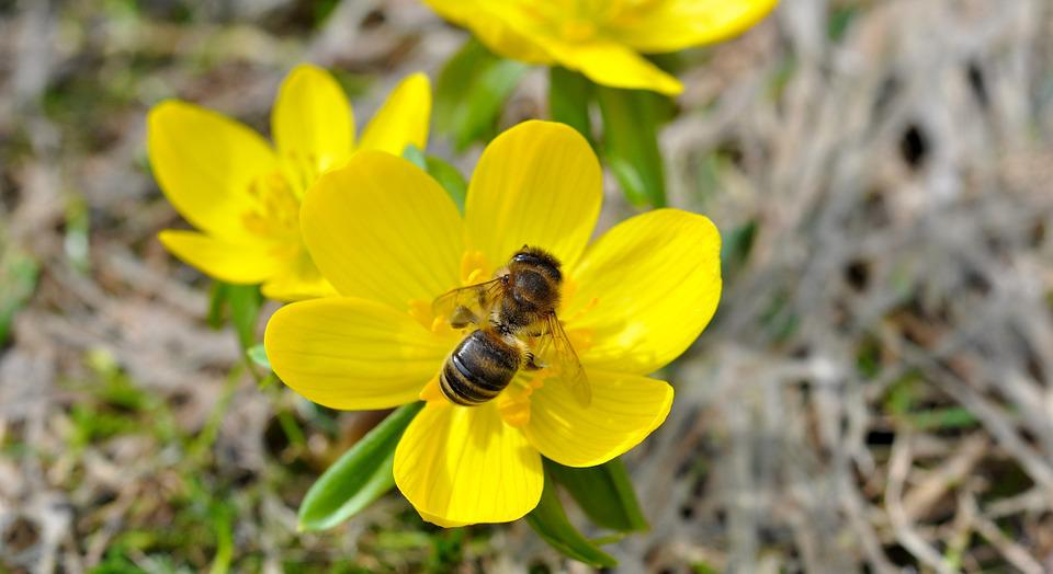 Winterling, Flower, Blossom, Bloom, Yellow, Bee, Insect