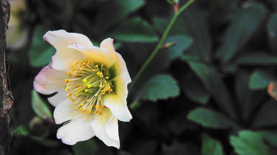 Christmas Rose, Blossom, Bloom, Nature, Plant, Flower